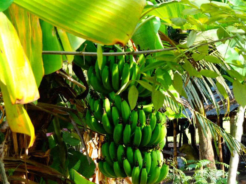 Bunch of bananas in a tree in Alleppey, in the Indian state of Kerala