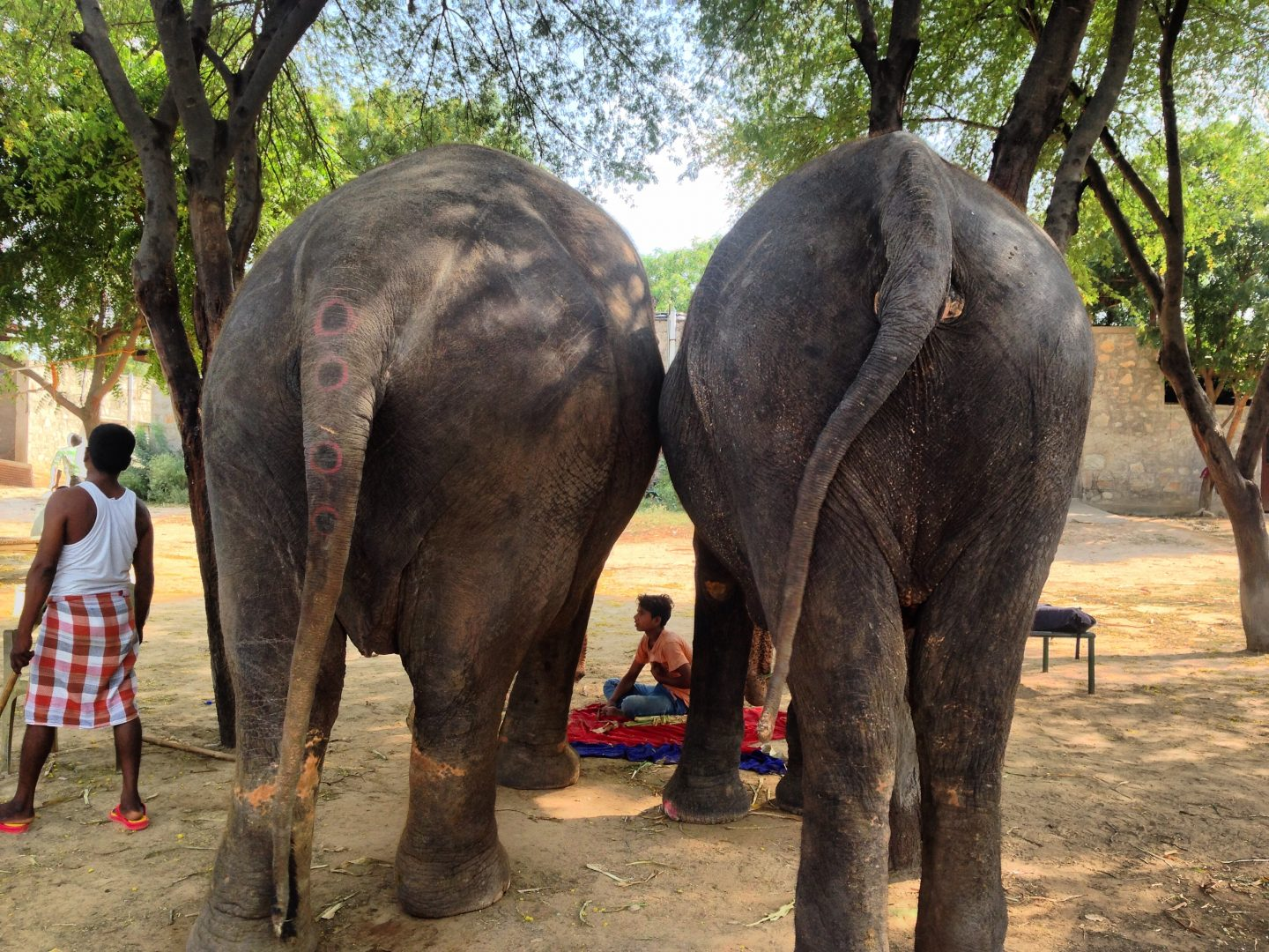 elephants-in-jaipur