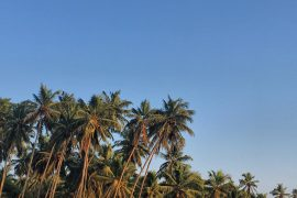 coconut trees on the beach in Goa India