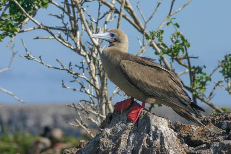 A red-footed booby perched on a rock in the Galapagos Islands