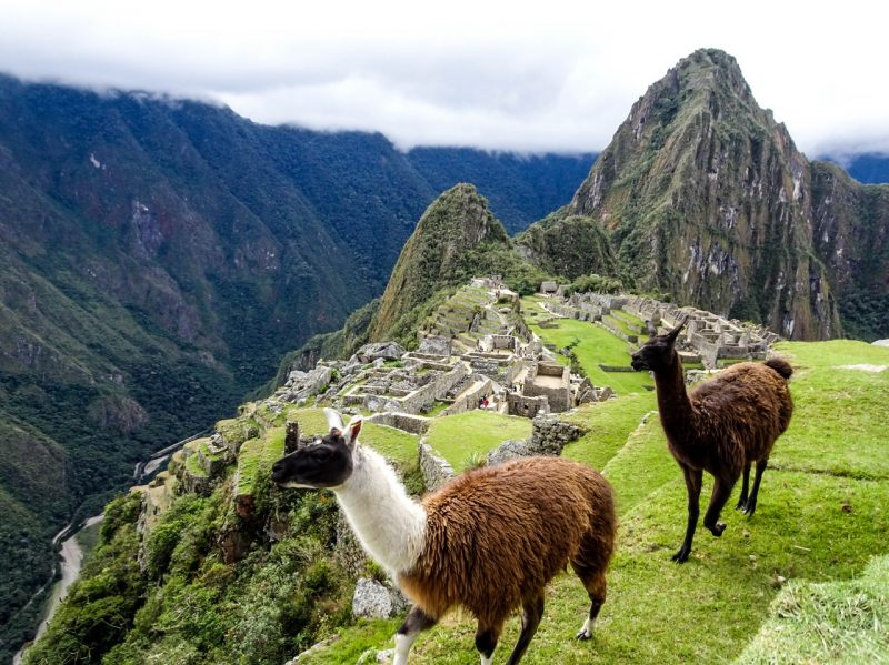 Alpacas roaming around at Machu Picchu citadel in Peru
