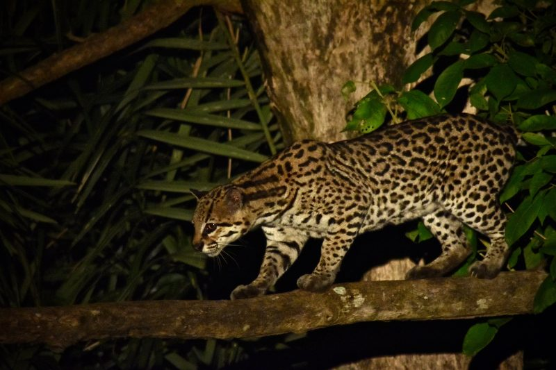 a wild ocelot perched on a tree in South Pantanal, Brazil