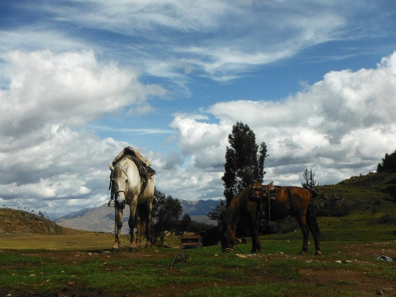 Horses grazing on the green mountains in the Sacred Valley, Peru, getting ready for a horseback tour of the area