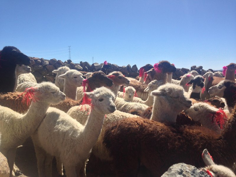 A herd of alpacas on the Colca Canyon and Valley tour