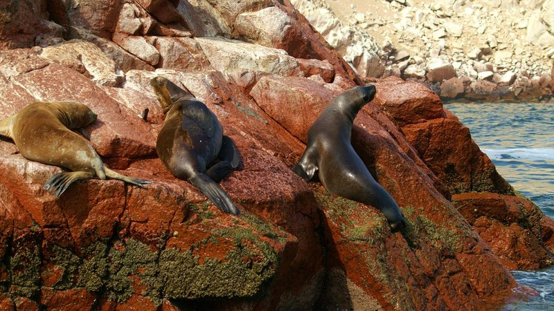 Sea lions bathing on the rocks in Islas Ballestas, one of the best places to stop during your two week Peru trip